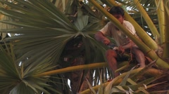Cambodia: Working in a Sugar Palm Tree Stock Footage