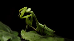 Mantis Cleaning Head (HD) Stock Footage