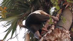 Cambodia: Climbing Palm Tree Stock Footage