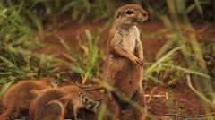 African Ground Squirrels Lookout GFHD Stock Footage