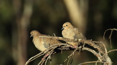 Mourning Dove Couple (HD) Stock Footage