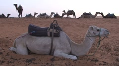 Camels in Sahara, Morocco Stock Footage