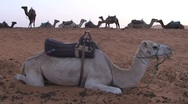 Stock Video Footage of Camels in Sahara, Morocco