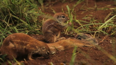African Ground Squirrels Greeting GFHD Stock Footage