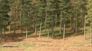Stock Video Footage of Conifer Trees