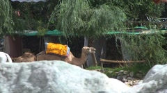 Camels at Ourika river Stock Footage