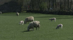 Ewes and their lambs graze. Sheep. Stock Footage