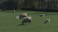 Stock Video Footage of Ewes and their lambs graze. Sheep.