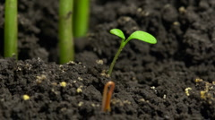 Stock Video Footage of Micro sprout growing from soil time-lapse