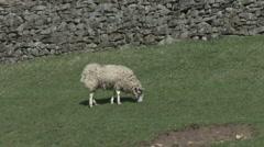 Ewe grazes below dry stone wall. Sheep. Stock Footage