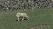 Stock Video Footage of Ewe grazes below dry stone wall. Sheep.