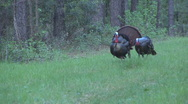 Stock Video Footage of Wild Turkey Courtship