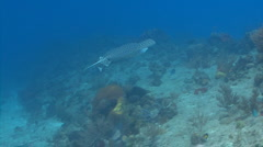 Spotted eagle ray marine animal Stock Footage