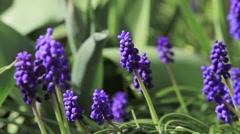 Blue grape hyacinths in spring Stock Footage