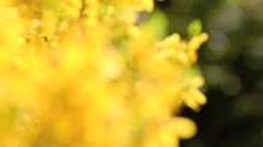 Forsythia blooming in spring Stock Footage
