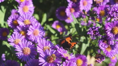 aster with butterfly and bees - stock footage