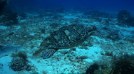 Stock Video Footage of turtle swimming over coral reef with scuba diver