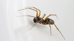 Neriene clathrata spider Stock Footage