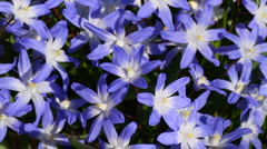 Squill flowers Stock Footage