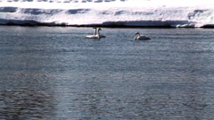 Trumpeter Swans Stock Footage