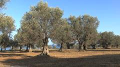 Italy Basilicata olive trees Stock Footage