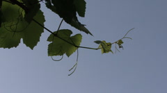 Italy grape leaves and sky Stock Footage