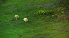 2 sheep grazing over green field. Stock Footage