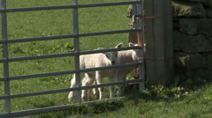 Inquisitive lambs at field gate. Sheep. Stock Footage