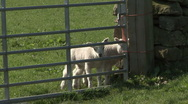 Stock Video Footage of Inquisitive lambs at field gate. Sheep.