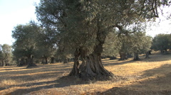 Italy old olive trees Basilicata  - stock footage