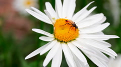 Wasp on the chamomile. Stock Footage