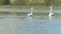 2 swans swimming away from camera shot in slow motion Stock Footage