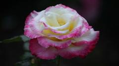 Garden rose Stock Footage
