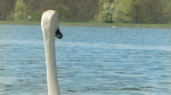 Swan swimming away from camera shot in slow motion Stock Footage