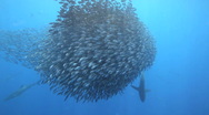 Baitball Cocos Island Stock Footage