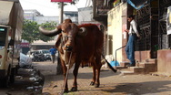 Stock Video Footage of Mumbai street cow 1