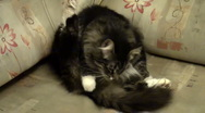 Affectionate fluffy cat Stock Footage