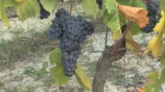 Barolo nebbiollo grapes on vine Stock Footage