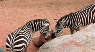 (1256a) A Day at the Zoo Series Zebras Stock Footage