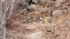 (1254g) A Day at the Zoo Series Bengal Tiger Prowling Enclosure - stock footage
