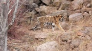 (1254g) A Day at the Zoo Series Bengal Tiger Prowling Enclosure Stock Footage
