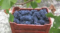 Barolo grape crate with leaves Stock Footage