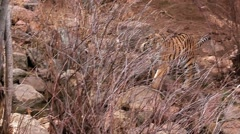 (1254e) A Day at the Zoo Series Bengal Tiger Prowling Enclosure - stock footage
