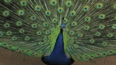 (1255e) A Day at the Zoo Series Peacock Displaying Feathers - stock footage