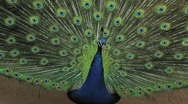 (1255e) A Day at the Zoo Series Peacock Displaying Feathers Stock Footage