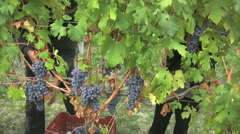 Italy hands reach out to pick grapes good Stock Footage