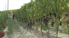 Barolo Nebbiollo grape harvest Stock Footage