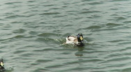 2 ducks hunting each other Stock Footage