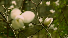Flowering magnolia Stock Footage