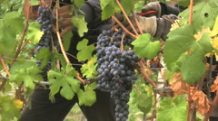 Gloved hands picking grapes in Italy's Barolo region Stock Footage
